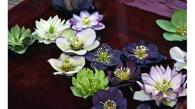 From The Ground Up There S Always A Place For Hellebores